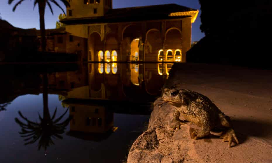 A spiny common toad (Bufo spinosus) keeps watch over the Alhambra palace