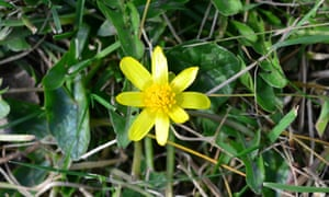 The first celandine of the year