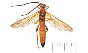 New species of wasp <em>Lymantrichneumon disparis.</em>