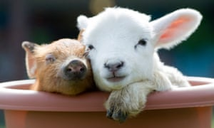 Smile for the camera … a newborn baby piglet and lamb cuddle on a farm.