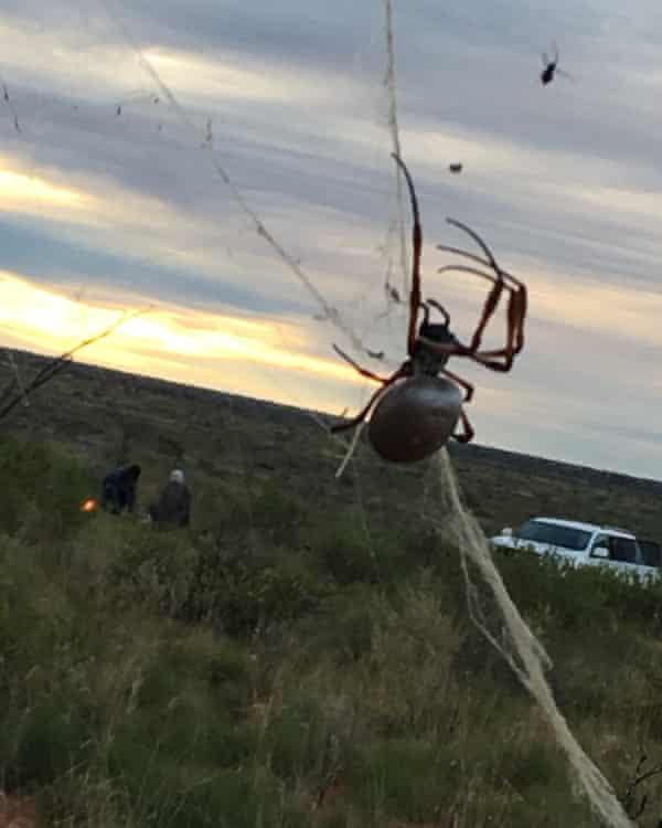 Spider in the desert at the bilby festival, 24 June 2016