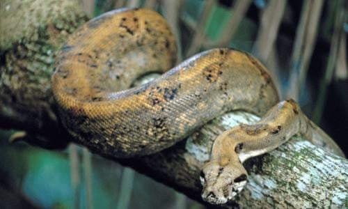 A New Squeeze Snake Mystery After Lone Elderly Python Lays Clutch Of Eggs Snakes The Guardian