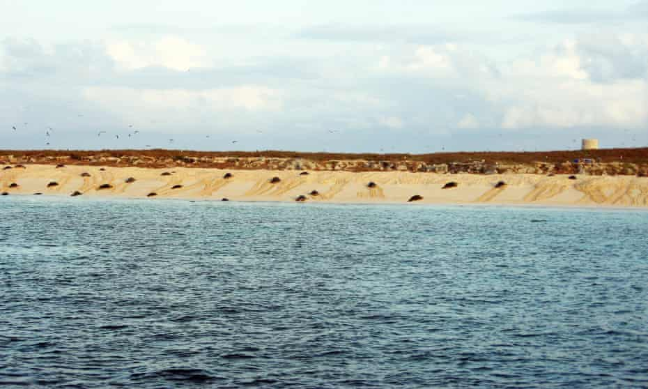 The world's largest aggregation site for nesting green turtles on Raine Island, the Great Barrier Reef, Queensland. A small fence has been built around a section of rock ledge on remote Raine Island to prevent the endangered turtles from toppling off rock ledges.