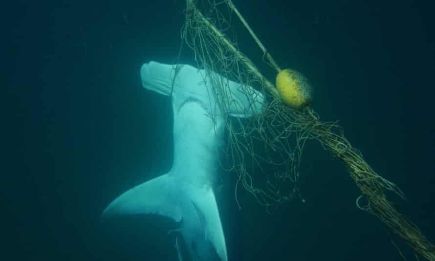 A dead great hammerhead shark found in a shark net off the Gold Coast, Queensland, on 8 January 2018.