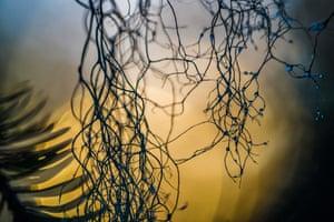 Endangered lichen, a key source of food for reindeer.