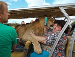 A close encounter with a lion on a tour around the Taigan safari park, Crimea