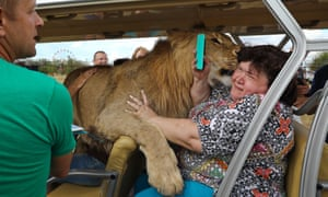 A close encounter with a lion at Taigan safari park, Crimea