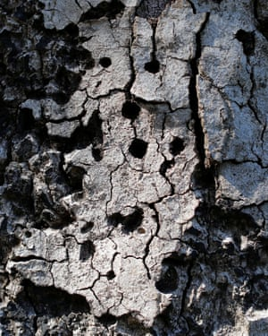 The effects of the goldspotted oak borer beetle in California.