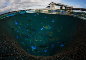 Blue tang and other tropical species are held in cages for export in Maluku, Indonesia