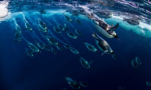 Emperor penguins in the Ross Sea in Antarctica.