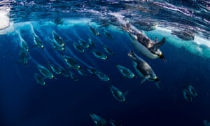 Emperor penguins in the Ross Sea, Antarctica.