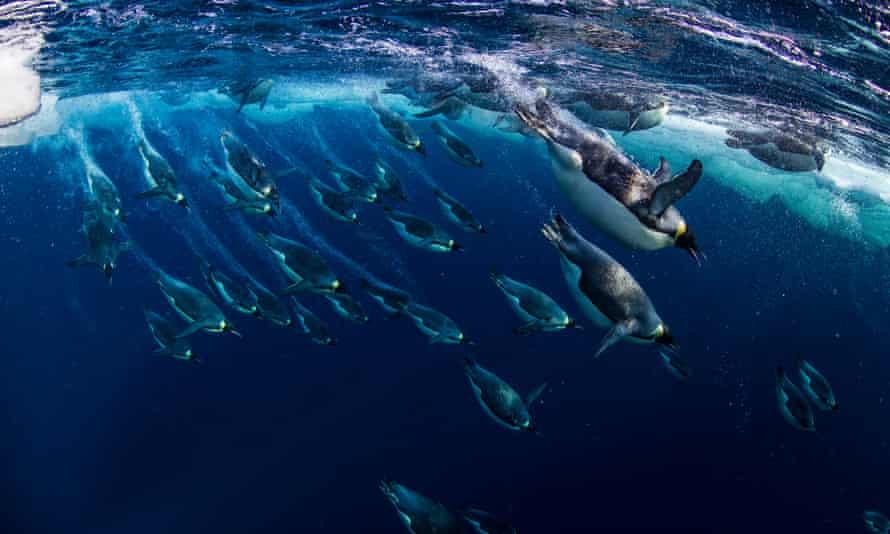 Emperor penguins in the Ross Sea, Antarctica.