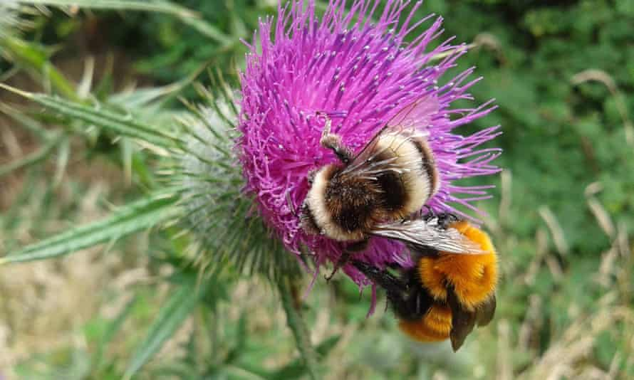 The native Chilean bumblebee
