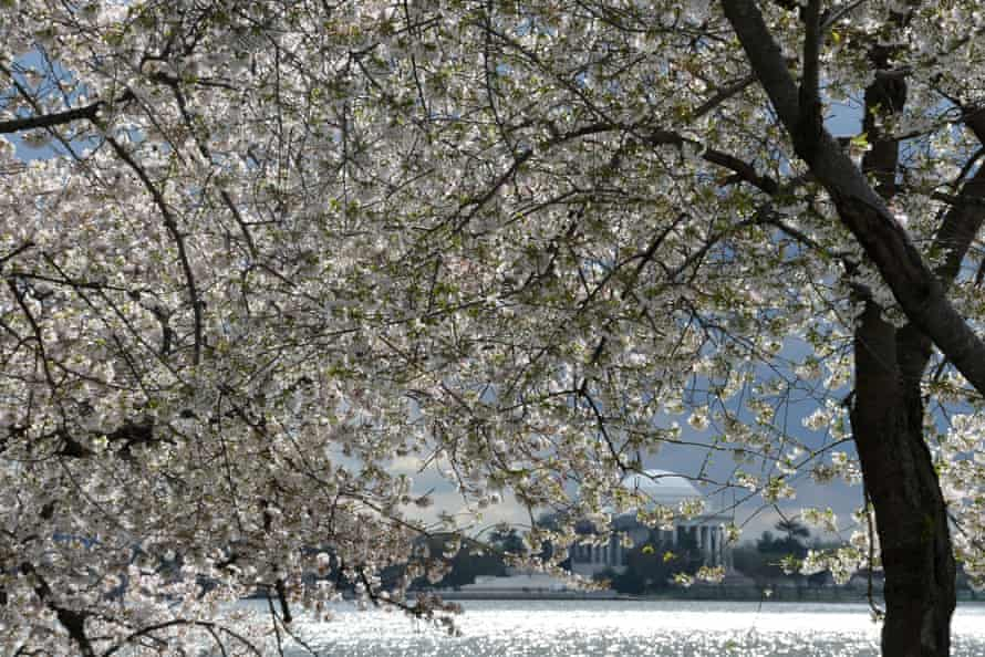 The cherry blossom trees in Washington DC reached their flowery peak on 28 March, according to the National Park Service.