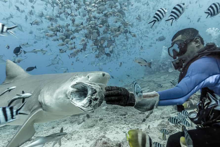 A sickle-fin lemon shark takes a tuna head from a shark handler.
