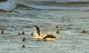 Bottlenose dolphins leap alongside surfers at Tamarama Beach in Sydney, Australia
