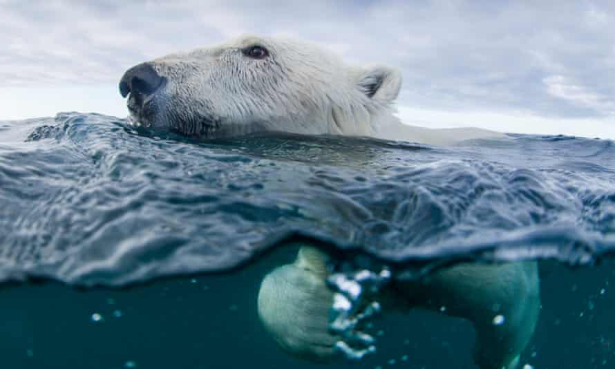 There are more than 2,500 polar bears in the coastal area that includes Labrador and northern Quebec, according to Environment Canada.