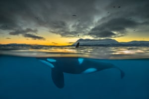 Split-view of a killer whale at sunrise off the coast of Northern Norway