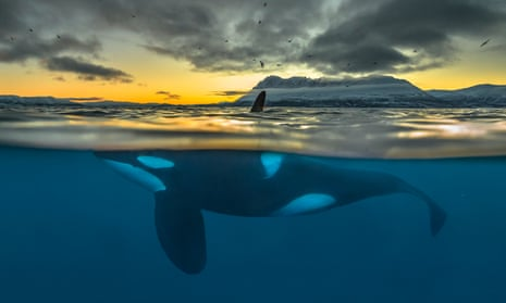 A killer whale at sunrise off the coast of northern Norway.