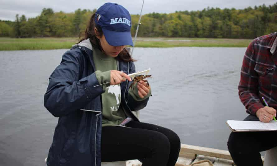 A graduate student measures and catalogues European green crabs along the Gulf of Maine.