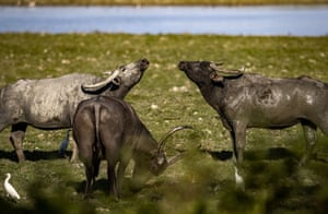 Wild buffalos graze inside the Agoratoli range in Kaziranga national park in the north-east state of Assam, India.