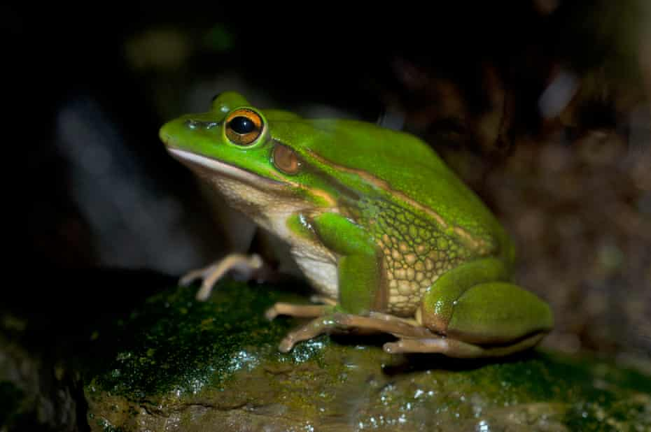 The vulnerable green and golden bell frog has been listed as requiring a recovery plan since 2009 and no plan has been adopted.