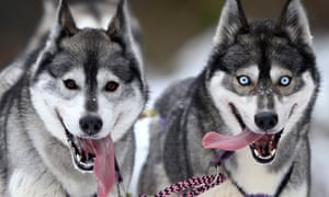 The Siberian husky was one of the specimens of selective breeding included in the study.