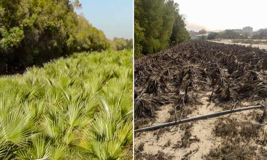 The Washingtonia palm field in February 2016 and then in 2019.