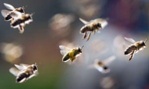 Strange bee-haviour ... Photograph: Frank Rumpenhorst/AFP/Getty Images