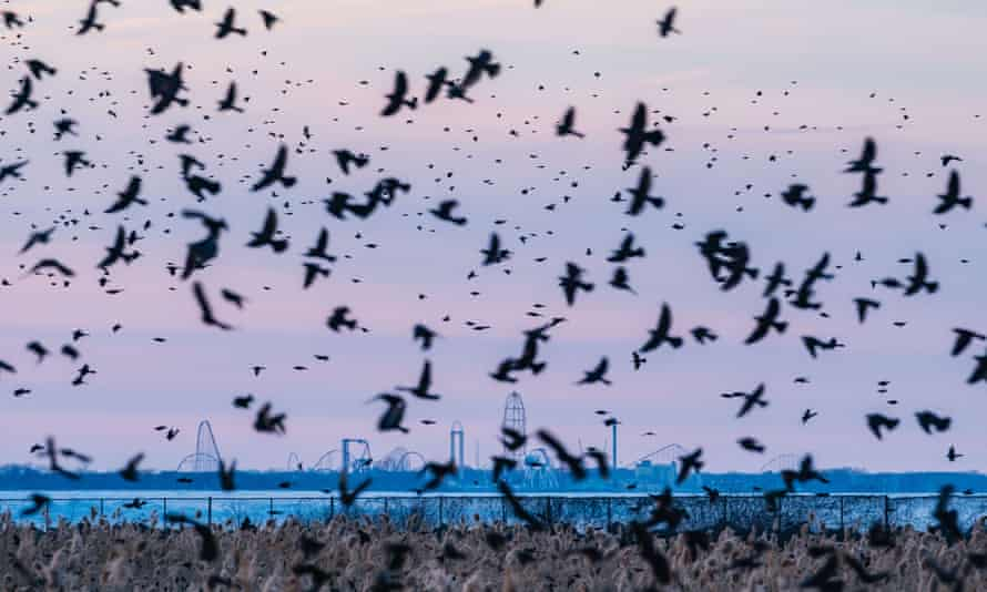 Murmurations of blackbirds, starlings and grackles gather in Huron, Ohio, earlier this year.