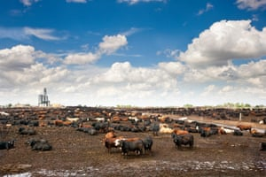 On large farms, like this beef feedyard in Nebraska, animals are often regularly given preventative doses of antibiotics.