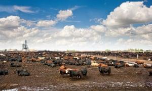 cattle farm in nebraska, us