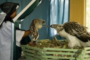 A captive-bred Philippine eagle is hand fed at the Philippine Eagle Center. Loss of habitat due to deforestation means these eagles are critically endangered. Some captive-bred birds have been released back into the wild