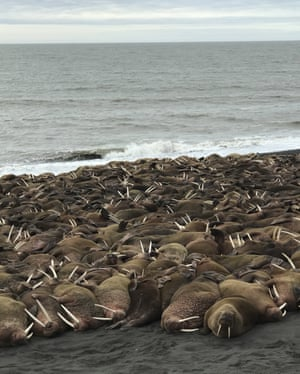 Hundreds of Pacific walruses rest on a beach a few miles outside Port Heiden, Alaska, where usually just a few appear each year