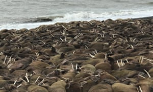 Pacific walruses on a beach near Port Heiden, Alaska.