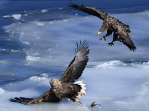 White-tailed sea eagles spend winter in the ice-free bay of Zolotoy Rog , Vladivostok before moving to the north-eastern coast of the Russian Far East
