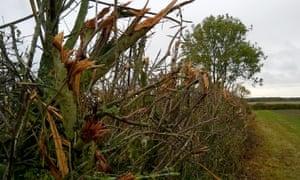 Flailed hedge, Harry's Park Wood