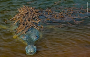 A large male gharial provides support for his numerous offspring on its back in breeding season