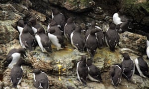 Guillemots on Skomer Island, off the coast of Pembrokeshire in west Wales.