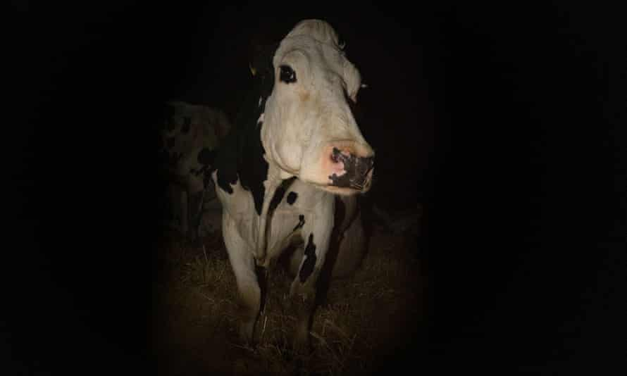 Andrea Arnold's Cow.