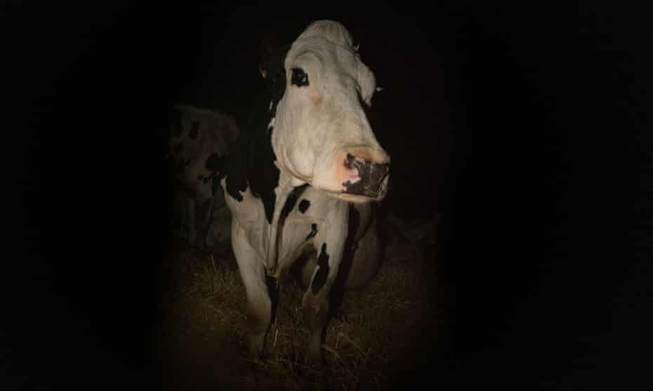 Andrea Arnold Documentary 'Cow'