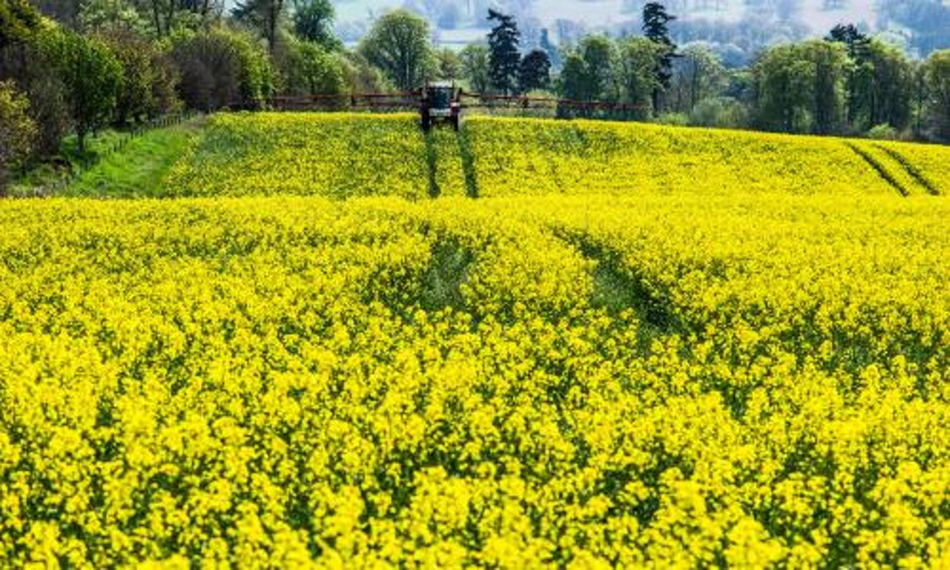High pesticide levels on oilseed rape crops harm wild bees high pesticide levels on oilseed rape crops harm wild bees scientists prove environment the guardian mightylinksfo