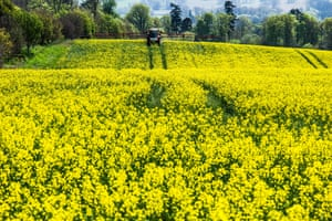 Oilseed rape crops must be intensively managed for farmers to attain high yields, and this means high use of pesticides.