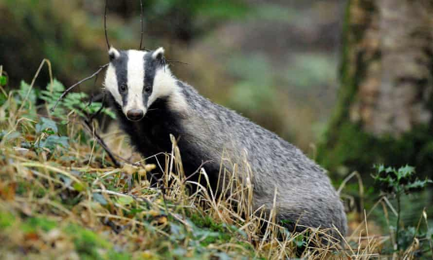 """Badger cull<br>File photo dated 28/07/08 of a wild badger, as figures show that culling badgers to tackle tuberculosis in cattle has cost the taxpayer £16.8 million in the past few years, or £6,775 for each animal killed. PRESS ASSOCIATION Photo. Issue date: Wednesday September 2, 2015. The figures suggest the cost to the public of two pilot culls in Gloucestershire and Somerset has been even higher than estimates by anti-cull campaigners, prompting them to claim the policy is an """"unacceptable burden on the taxpayer"""". See PA story FARM Badgers. Photo credit should read: Ben Birchall/PA Wire"""