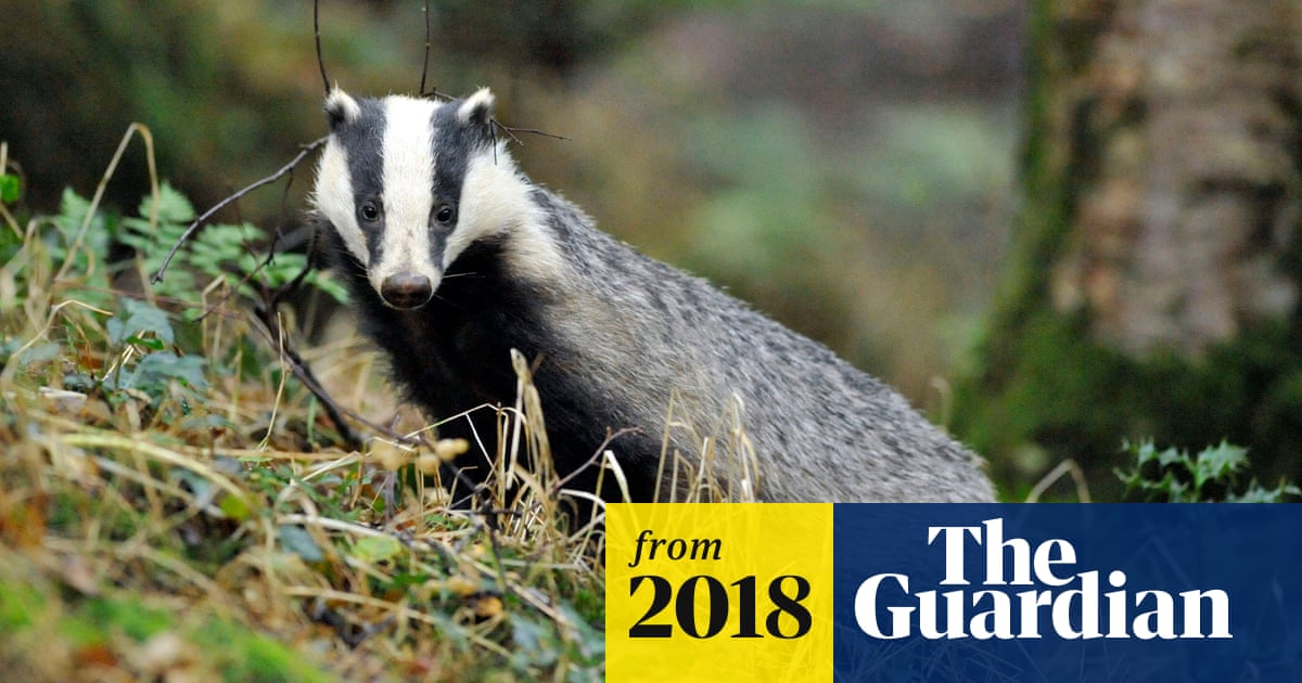 Badger cull policing cost £800,000 in one county