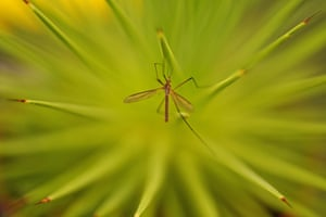A crane fly sits on a flower at the Malvern Autumn Show, at the Three Counties Showground near Malvern in Worcestershire, UK.