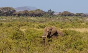 Elephant Tim in Amboseli National Park, Kenya, on 10 September 2016.