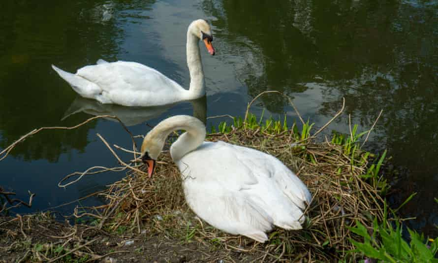 Swan 'gardening' with her mate in attendance