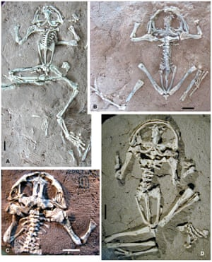 Specimens of Liaobatrachus zhaoi, the earliest modern frog, from the Yixian formation in China.