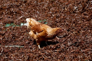 A chicken feeds on crushed desert locusts after they were left out to dry, before the locusts are made into animal feed, at a farm near the town of Rumuruti, Kenya, February 3, 2021.